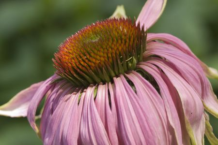 Withered pink sunflower photo