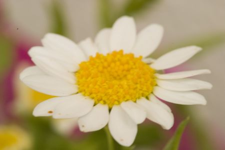 pretty white daisy photo