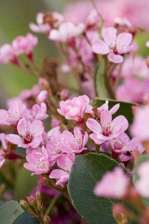 かなりピンクのハナミズキの花 写真素材