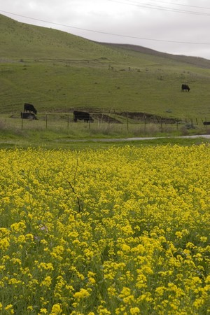 mustard plant: wild mustard flowers abundant on the hillsides where cows are grazing