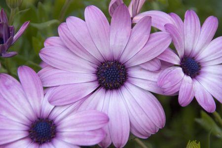 purple daisy flower garden lining a city sidewalk  Banque d'images