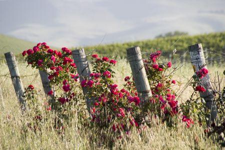 rose hedges and vineyards