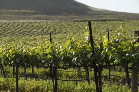 hillside: Northern California wine country landscape