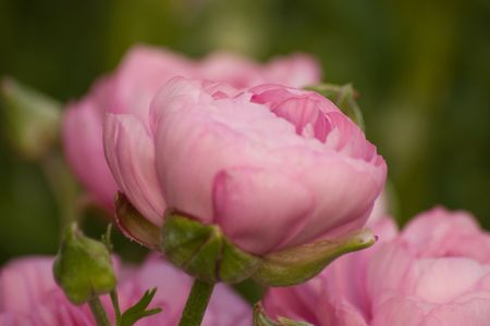 Pink rannunculus Stock Photo - 6702963