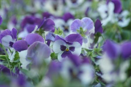 pretty pansy violets Stock Photo