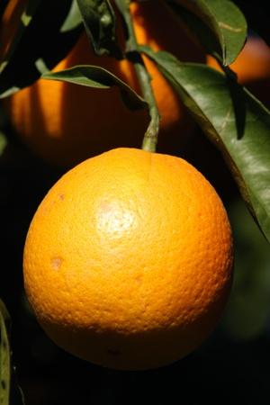 orange tree photo