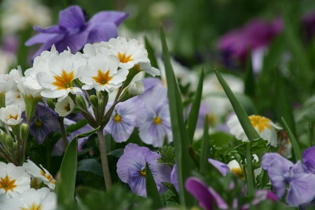 gorgeous spring garden of colorful pansies photo