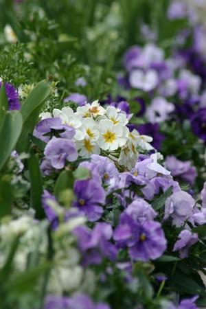 Purple flower garden in spring