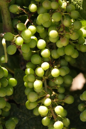 sauvignon blanc: Clusters of wine grapes ready for harvest