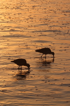 Two birds and reflection in a golden sunset photo