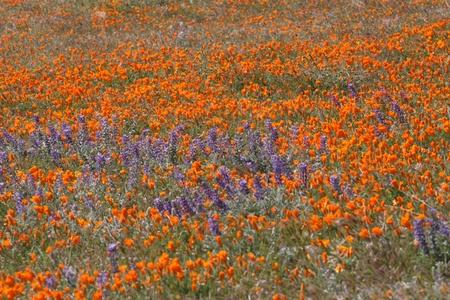 カリフォルニアの砂漠の丘で魔法のケシ畑