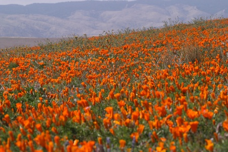 California poppy field  photo