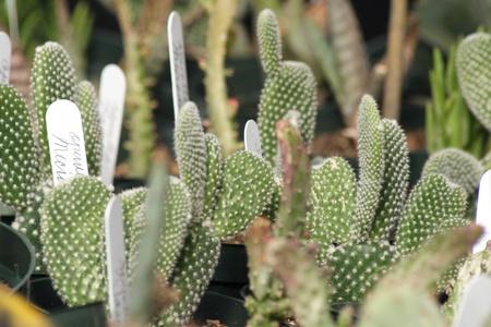 Plantas de cactus en venta en un vivero Foto de archivo - 10763598
