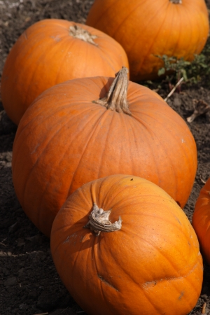 Pumpkins on a Pumpkin Patch photo