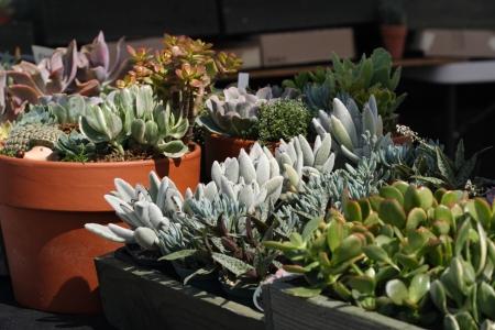 Cactus y plantas suculentas para la venta en el vivero Foto de archivo - 16320659