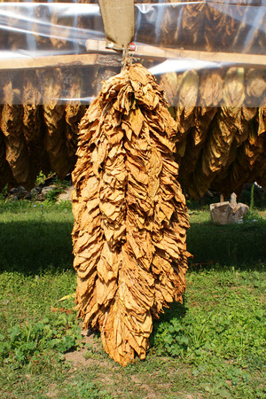 Traditional way of tobacco drying in tent, rural area