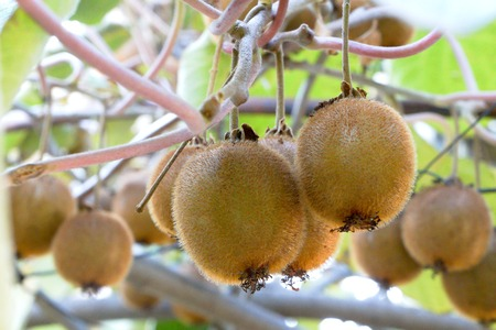 Kiwi fruits growing on the branch