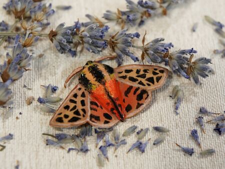 Handmade copper jewelry in the shape of butterfly from the genus Chelis maculosa. Handmade jewelry