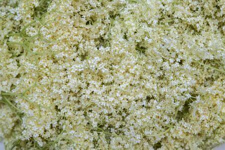 Black Sambucus flowers. Sambucus - Elder - The flowers and berries are used most often medicinally. Macro of delicate amazing blossoming of black sambucus (Sambucus). Selective focus