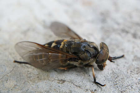 Macro of dead flies or fly insect. Dead fly in macro with Big brown eyes