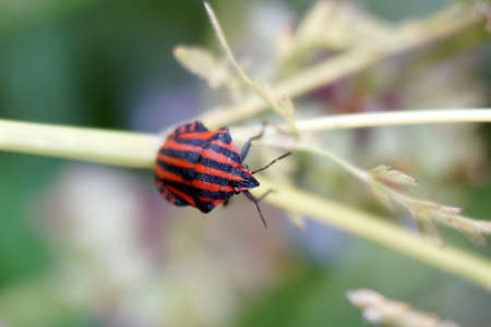 Graphosoma lineatum on the branch in the nature