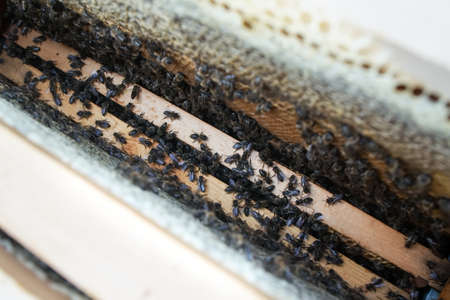 Close up of colony of bees crawling on the beehive frame with honeycomb. Bee crawling out of honeycomb