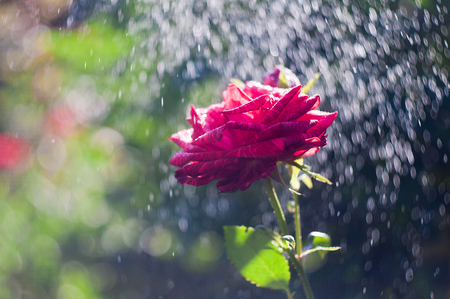raindrops: Red Rose in the summer rain Stock Photo