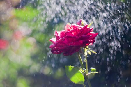gotas de agua: Rose roja en la lluvia de verano