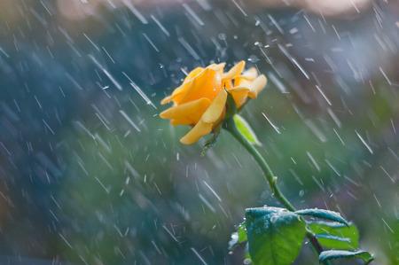 fragrant: Yellow rose in summer rain