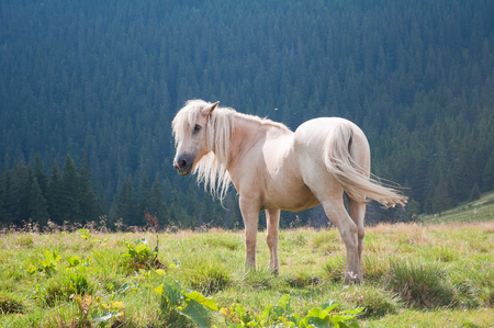 green white: The beautiful white horse on a background Carpathian forest Stock Photo