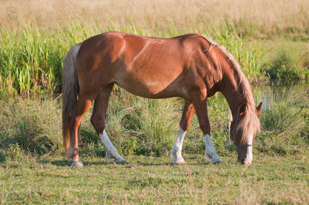 equine: Lonely horse grazing in a meadow Stock Photo