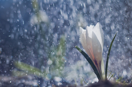 White crocus on background drops
