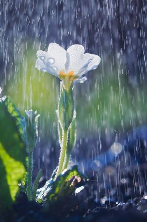 White primula flower in spring rain