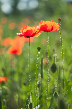 amapola: Flores silvestres amapolas rojas