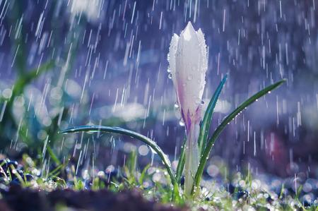 Hermosa primavera azafrán blanca bajo la lluvia de primavera Foto de archivo