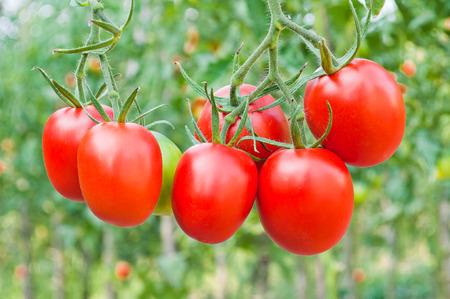Rode bossen van tomatenclose-up op een achtergrond van de tuin Stockfoto - 65605984