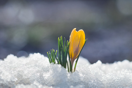Small yellow crocus blooms in the snow Stock Photo
