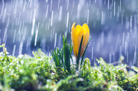 Yellow crocus on background spring rain Stock Photo