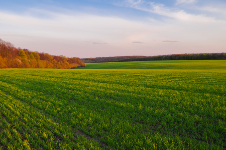 Green wheat field in early spring and the edge of the forest on the horizon in the rays of the evening sun Stock Photo