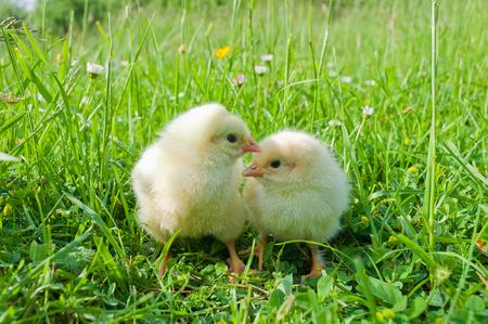 pollitos: Dos pequeños polluelos blancos en hierba verde Foto de archivo
