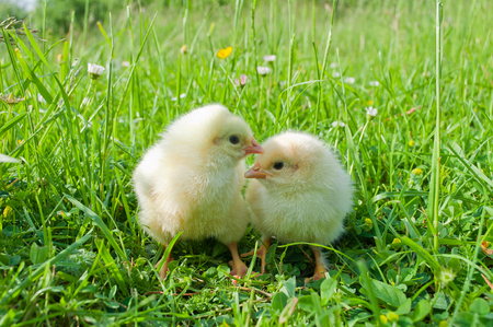chicks: Two small white chicks in green grass