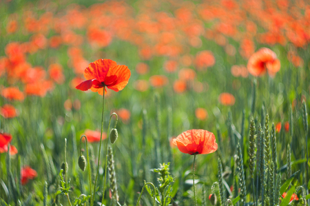 Flowers of red poppies bloom in the field Stock Photo