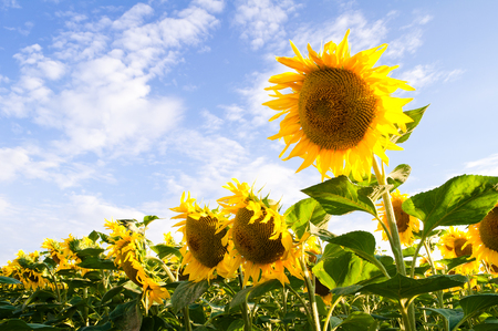 Flowers of sunflowers bloom on the background of blue sky with clouds