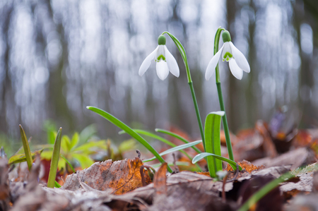 Beautiful white snowdrops growing in the forest Stock Photo