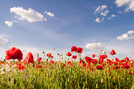 Red poppies and camomile on a background of blue sky with clouds