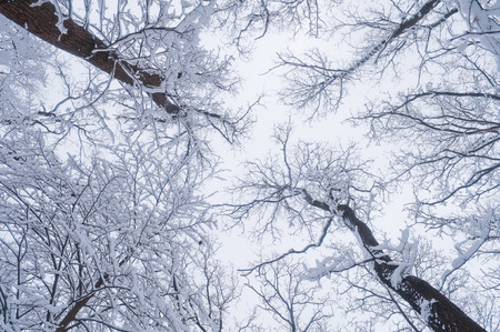 Tops of the trees in the forest covered with snow