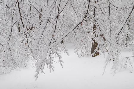 The branches of the trees in the forest are covered with snow