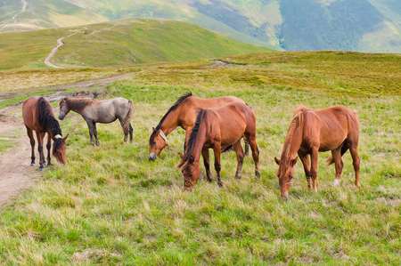 The herd of horses grazing on mountain meadows Stock Photo