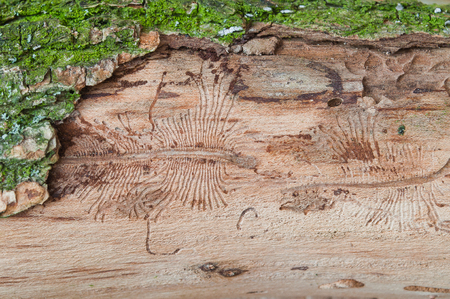 The imprint of the bark beetle under the bark of the tree