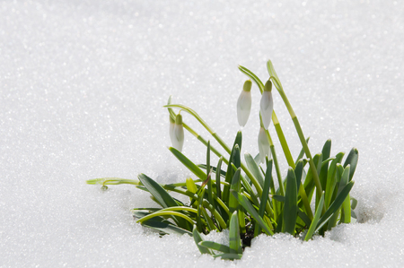 Beautiful first spring flowers snowdrops appeared from under the snow